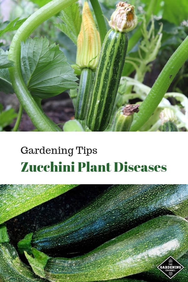 zucchini in garden and harvested zucchini with text overlay gardening tips zucchini plant diseases