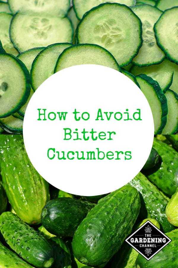 sliced cucumbers and harvested cucumbers with text overlay how to avoid bitter cucumbers