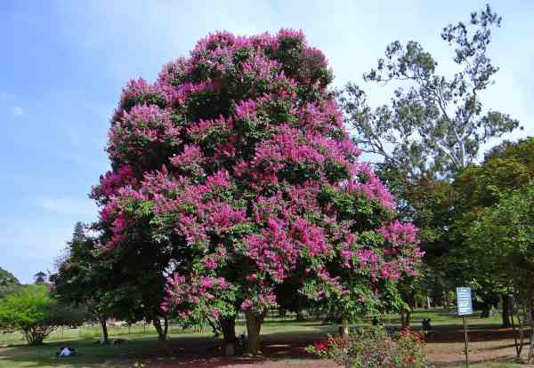 big crape myrtle tree