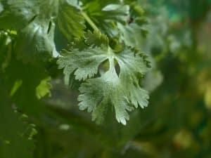 grow cilantro in garden