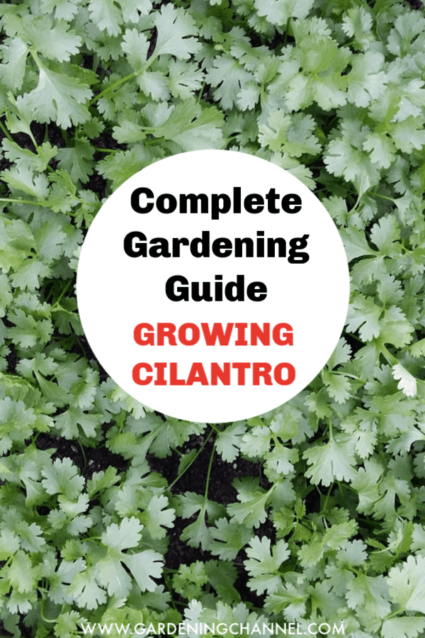cilantro with text overlay complete guide to growing cilantro