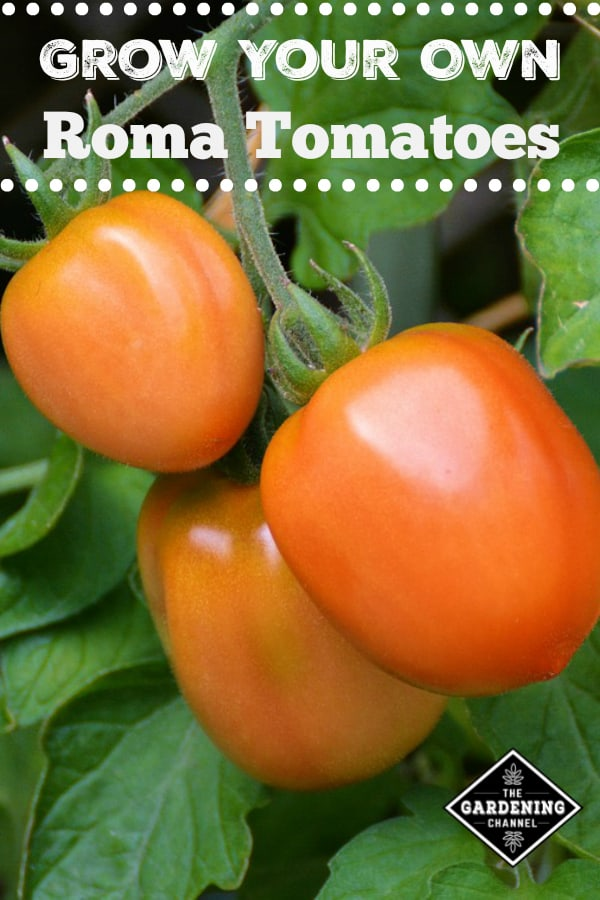 roma tomatoes in garden with text overlay grow your own roma tomatoes