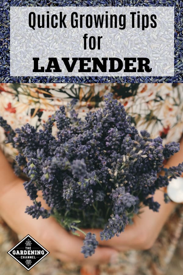 lavender flower buds and harvested fresh lavender with text overlay quick growping tips lavender