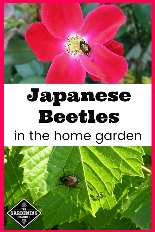 Japanese Beetle On Flower And Japanese Beetle Eating Leaf With Text Overlay  Japanese Beetles In The