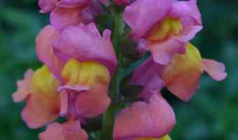 Growing Snapdragons Flowers: A How To Guide