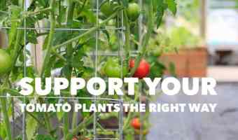 How to support your tomato plants