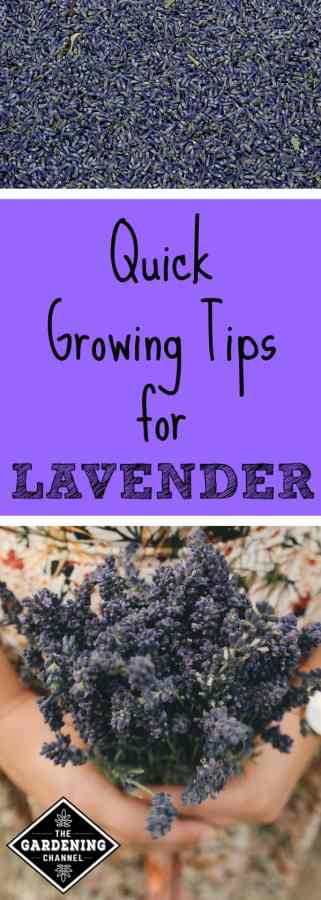 tips for growing lavender in your garden