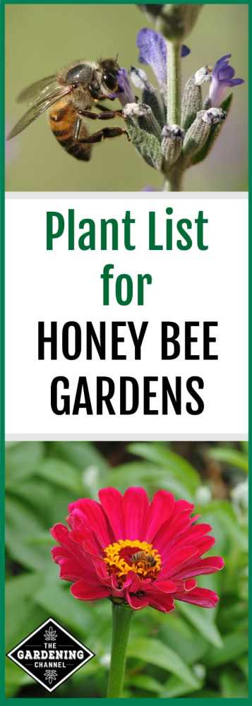 lavender bloom with honey bee zinnia flower with honey bee with text overlay plant list for honey bee gardens