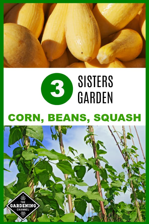 squash close up and pole beans in garden with text overlay three sisters garden corn beans squash