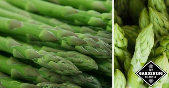 Growing Asparagus and Health Benefits