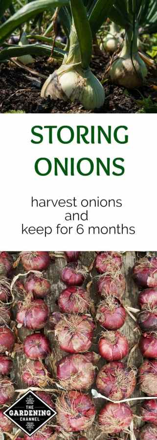 harvest and store fresh onions