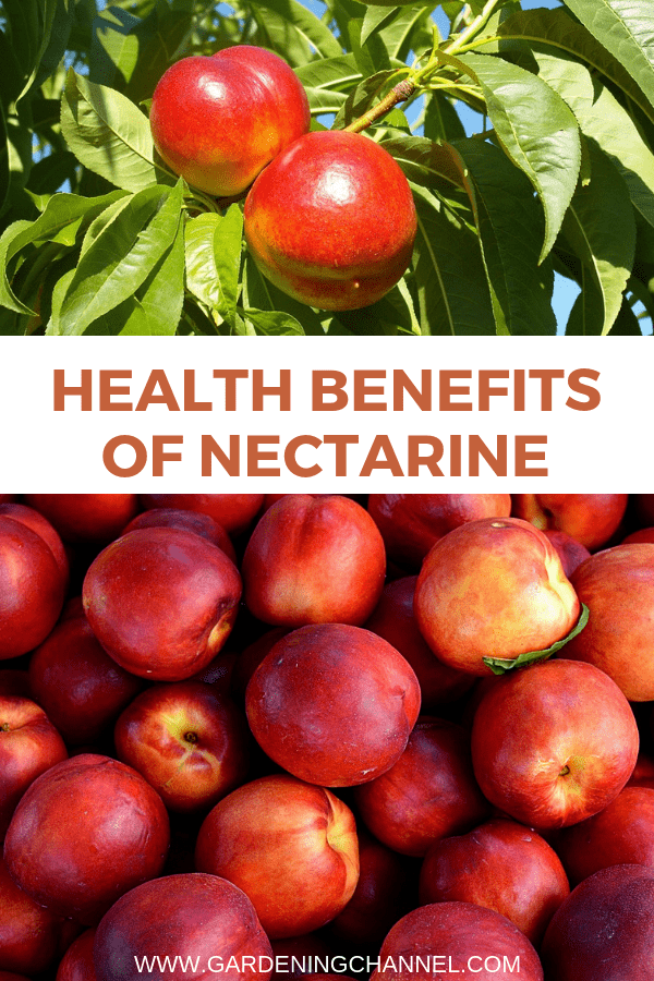 nectarine tree and harvest nectarines with text overlay health benefits of nectarines