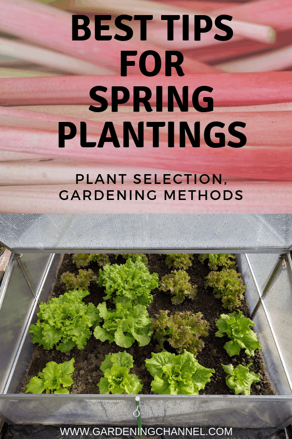 rhubarb lettuce in cold frame with text overlay best tips for spring plantings plant selection gardening methods