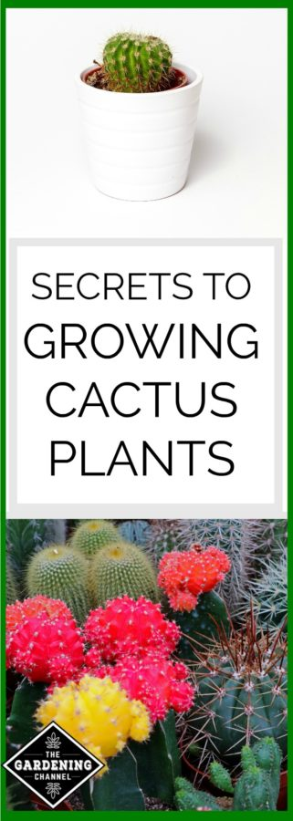Secrets to growing cactus