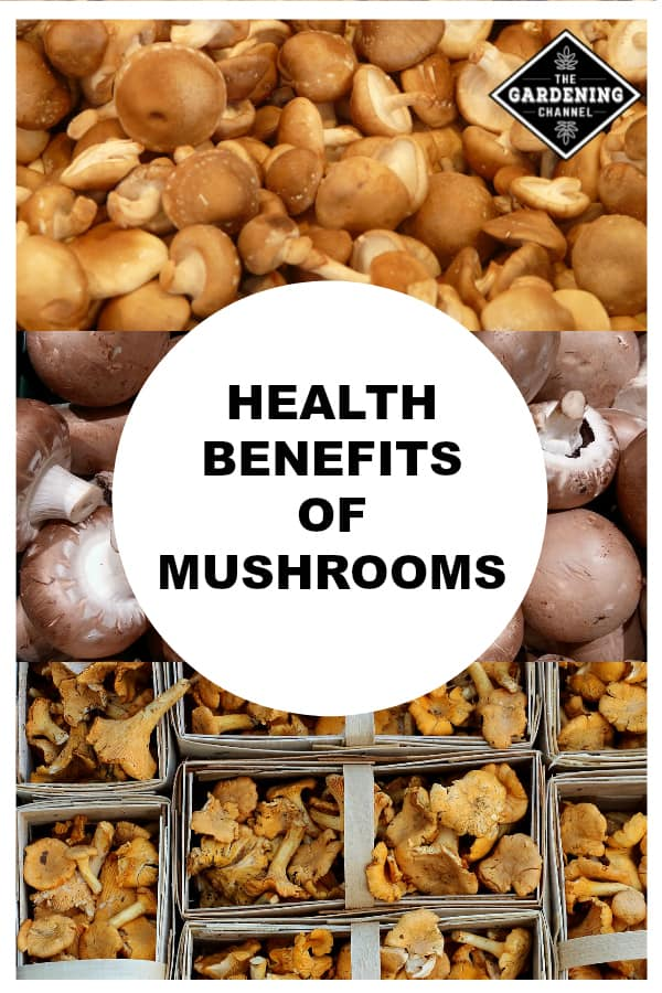 shiitake brown and chanterelle mushrooms with text overlay health benefits of mushrooms