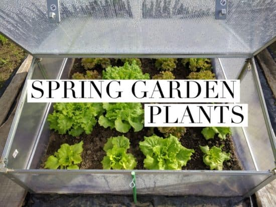 growing spring garden plants
