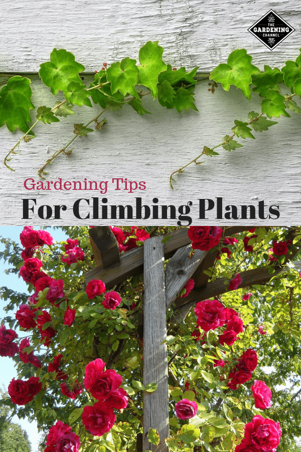 ivy growing on boards climbing roses on trellis with text overlay gardening tips for climbing plants