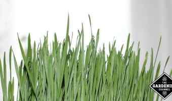 Wheatgrass Nurtrition and Health Benefits