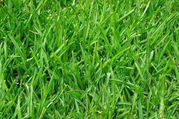 weed free organic lawn
