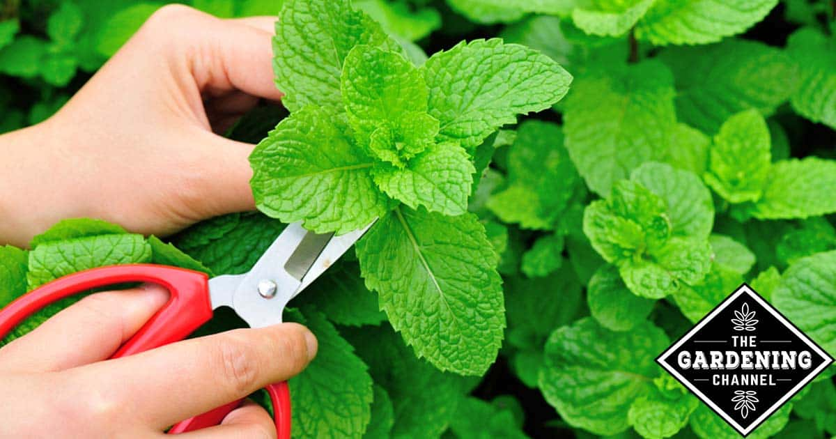 How to Start Growing Mint to Relieve Bloating and Indigestion Every Day