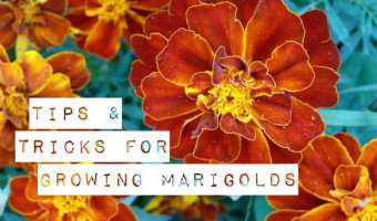 Growing Tips for Marigolds