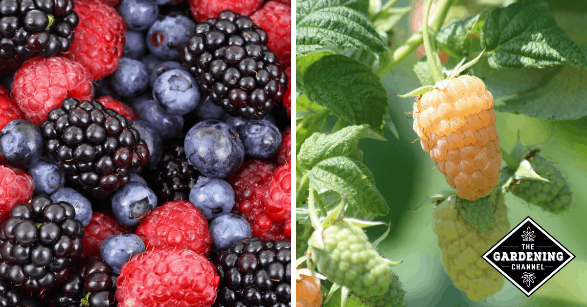 List of Types of Berries