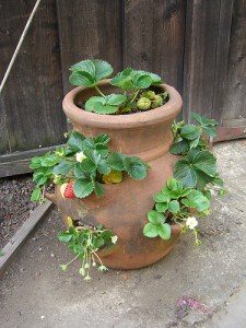 Winterizing Potted Strawberry Plants