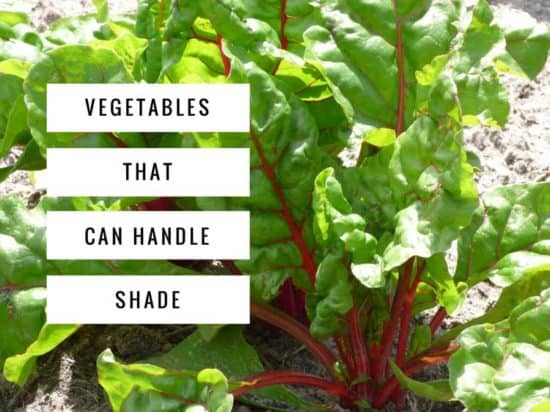 Growing Peppers In Your Vegetable Garden: Shade Vegetables: Try These 10 Options!