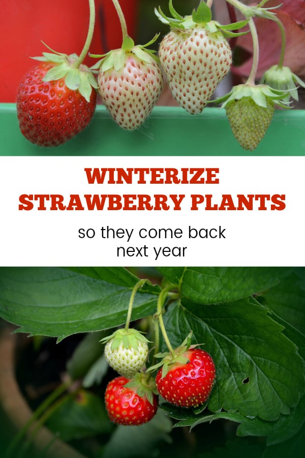 potted strawberry plants with text overlay winterize strawberry plants so they come back next year