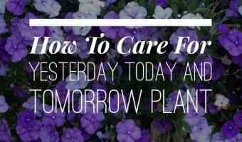 Yesterday Today and Tomorrow Plants: How to Grow