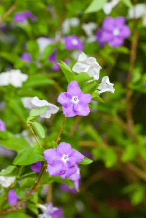 Yesterday Today and Tomorrow flower (Brunfelsia americana)