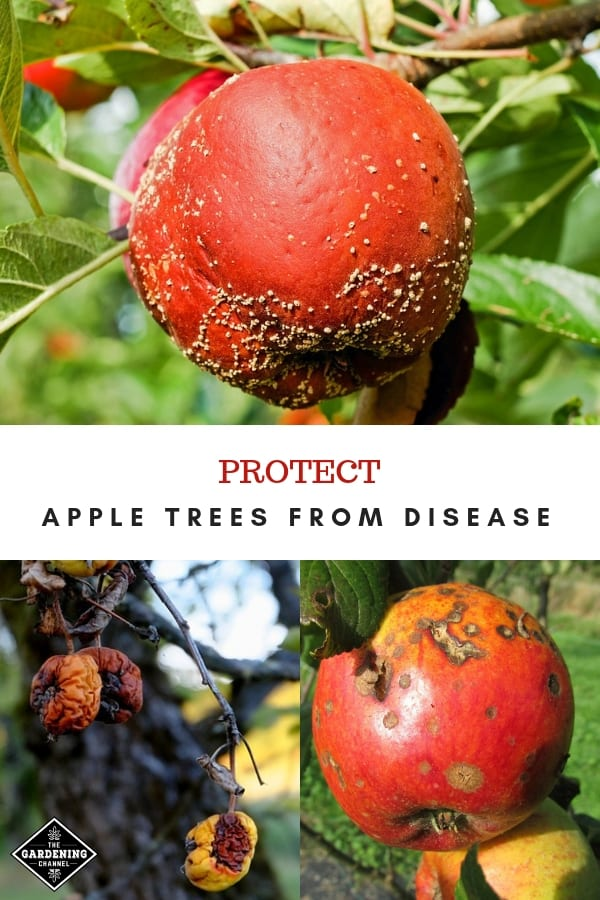 three picture of apple disease and rot with text overlay protect apple trees from disease