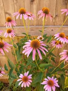 Inexpensive Perennials