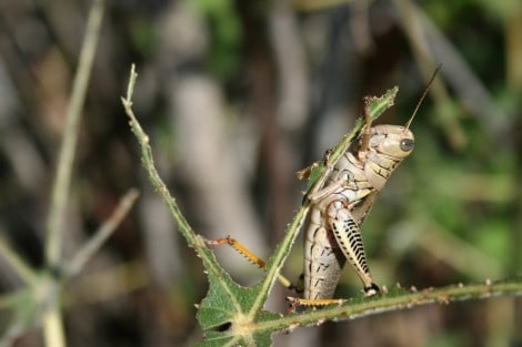 grasshopper eating garden