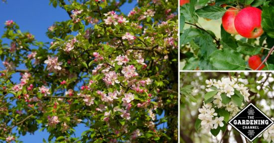 Protect apple trees from disease