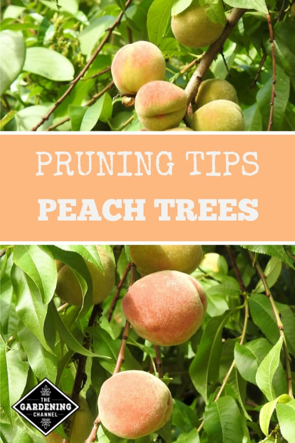 peach tree with text overlay pruning tips peach trees