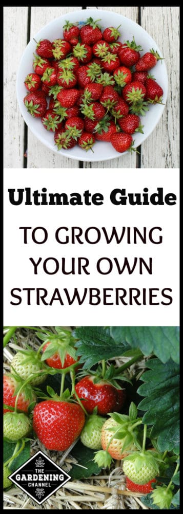 guide to growing your own strawberries