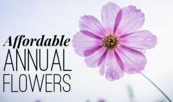 Cheap Annual Flowers