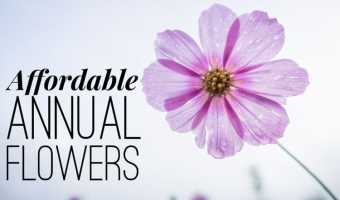 Cheap Annual Flowers