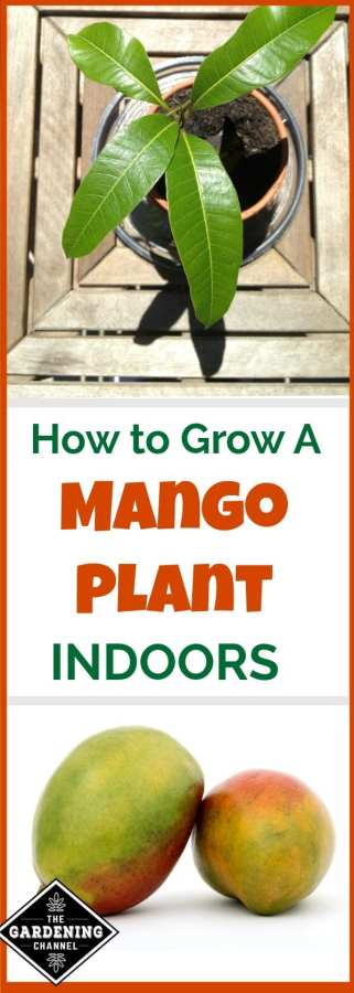 How to grow mango indoors