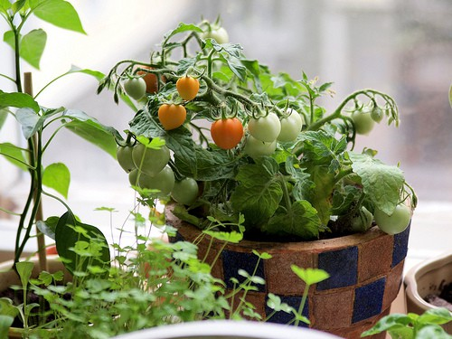Best Patio Tomato Varieties