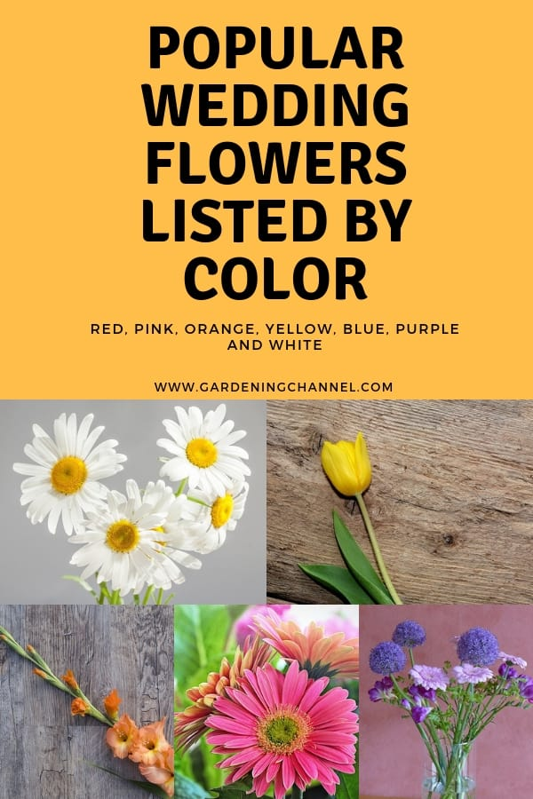daisies tulip gerber grape hyacinth with text overlay popular wedding flowers listed by color red pink orange yellow blue purple and white