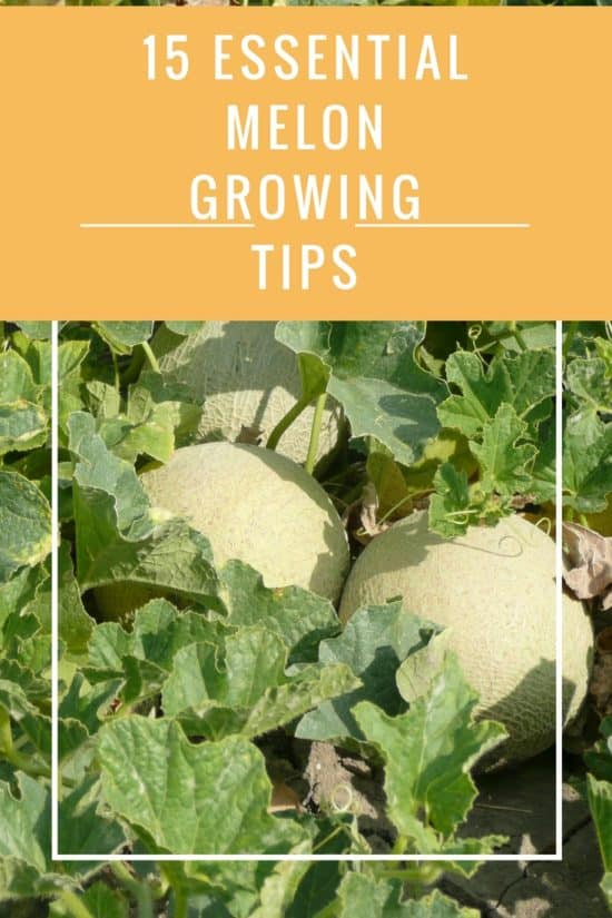 grow the best melons tips