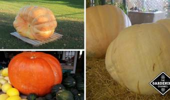 How to Grow Giant Pumpkins: The Ultimate Guide