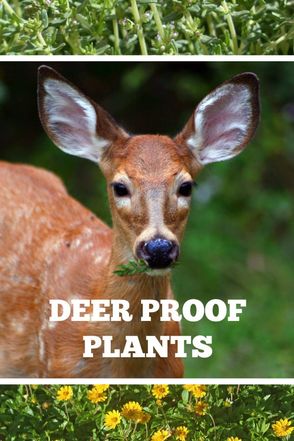 deer thyme and landscaping plants with text overlay deer proof plants