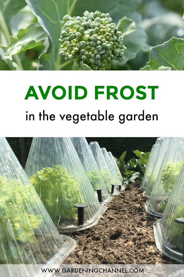 broccoli and endive in cloche with text overlay avoid frost in vegetable garden