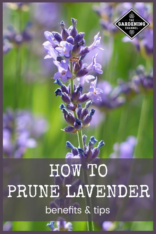 close up lavender buds with text overlay how to prune lavender benefits and tips