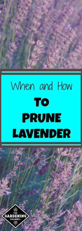 when and how to prune lavender