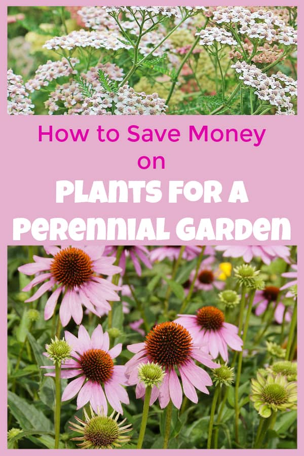yarrow and coneflower with text overlay how to save money on plants for a perennial garden