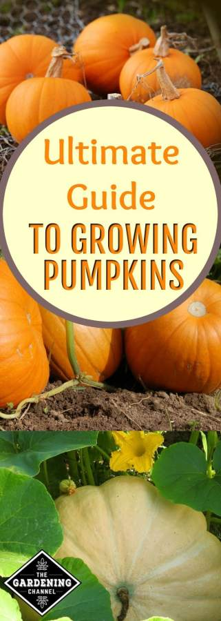 ultimate guide to growing pumpkins